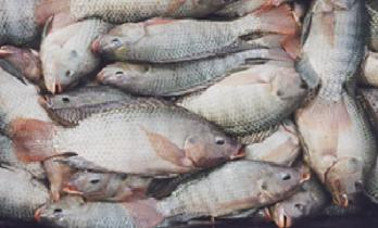 Farmed fish in Uganda